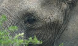 Elephant, Hluhluwe, SA
