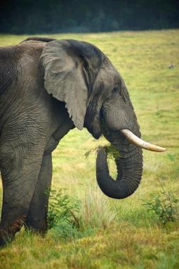 Elephant, Lalibela, SA
