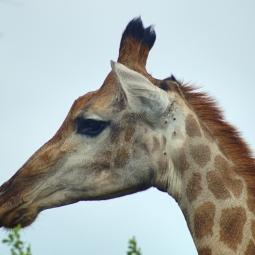 Giraffe, Hluhluwe, SA