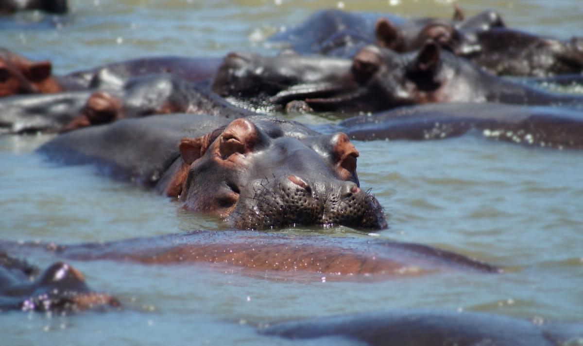 Hippo in St Lucia, SA