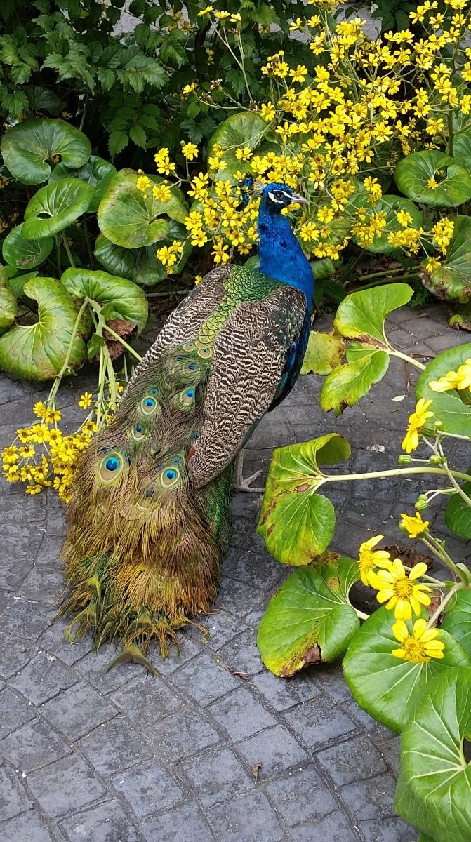 Peacock, Gran Canaria, Canary Islands