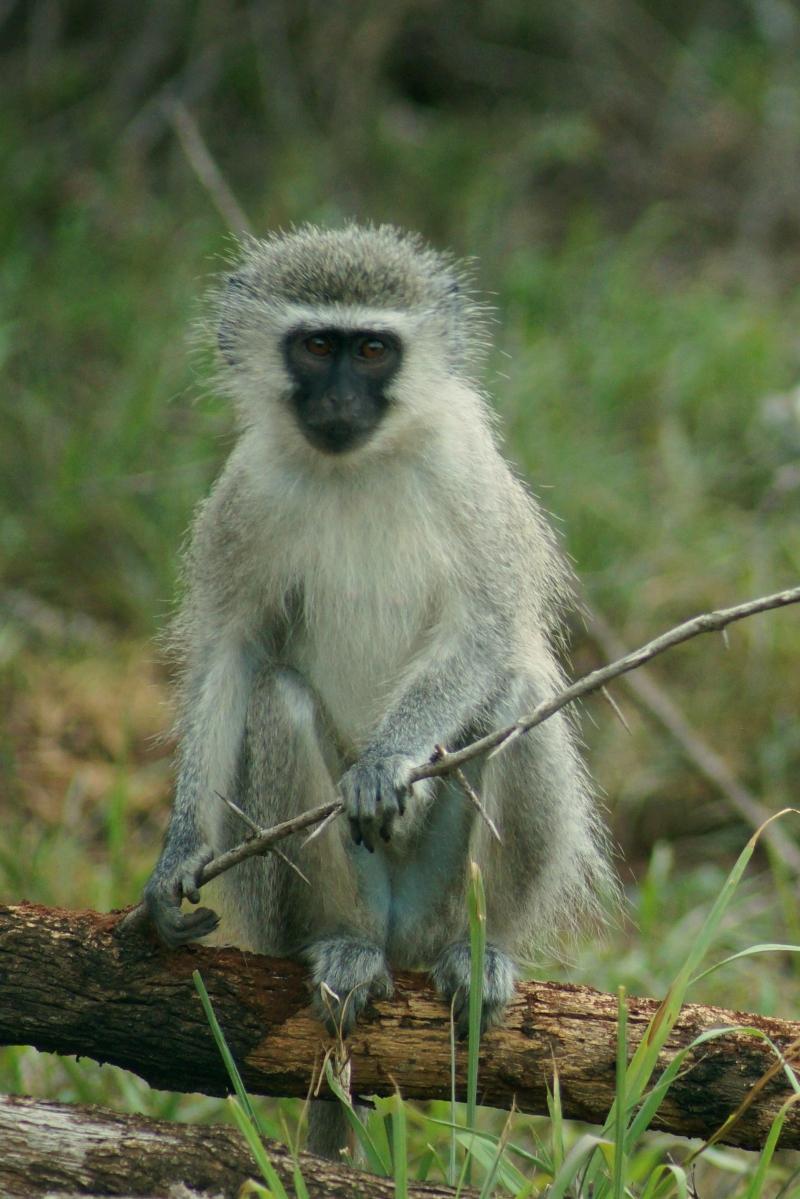 Velvet Monkey, Hluhluwe, SA