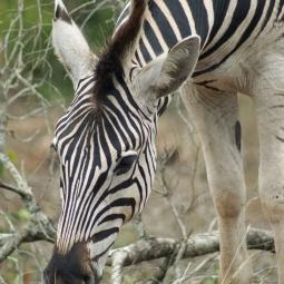 Zebra, Hluhluwe, SA