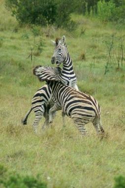 Zebra, Lalibela, SA.