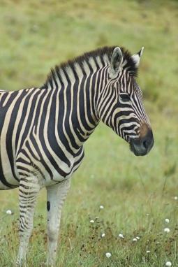 Zebra, Lalibela, SA