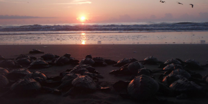 hatchlings-sunrise-688x344